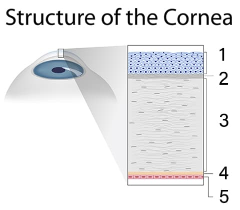 Cornea Structure Diagram